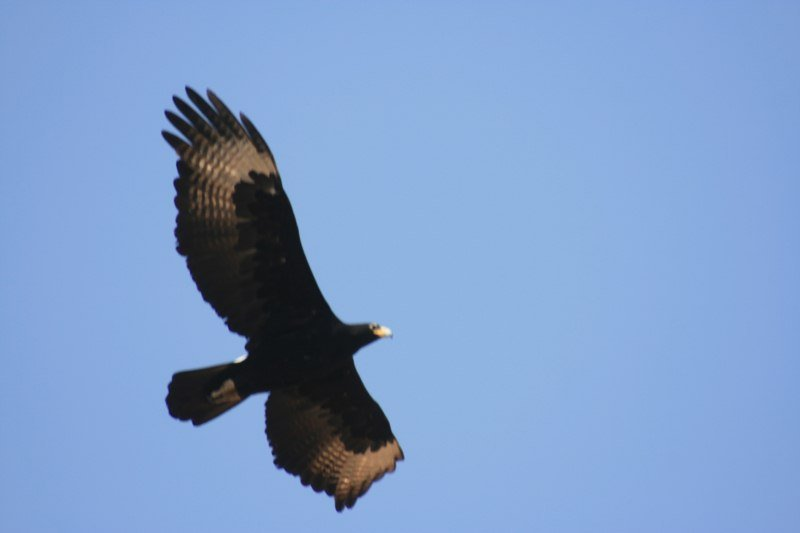 South African Black Eagle